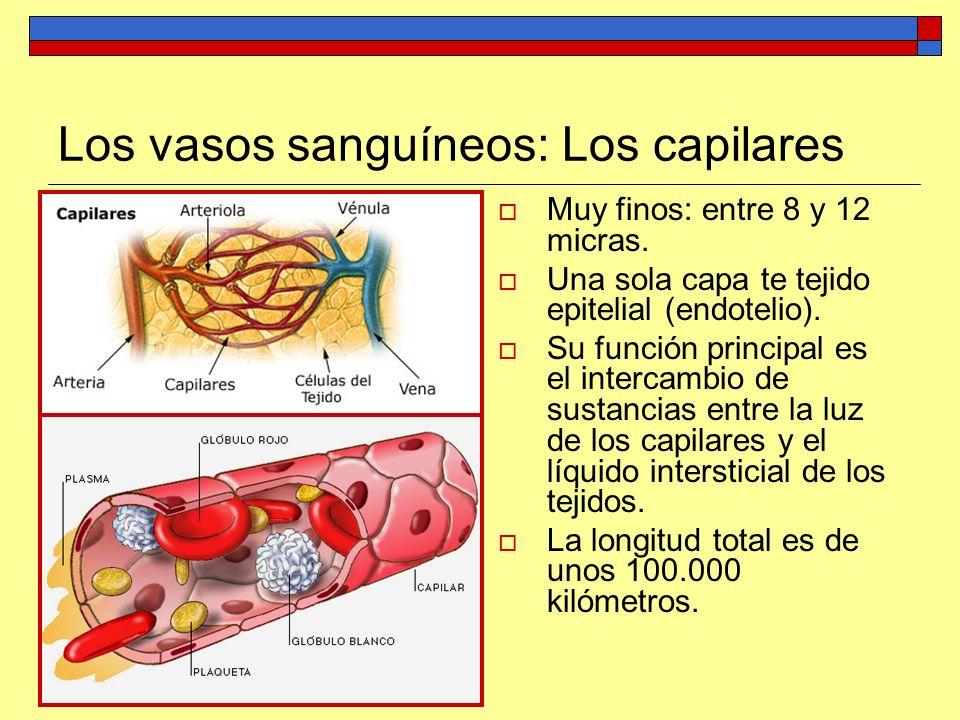 Los vasos sanguíneos: Los capilares