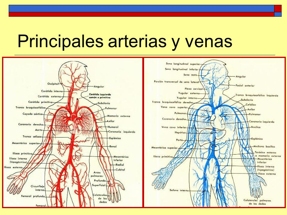 Principales arterias y venas