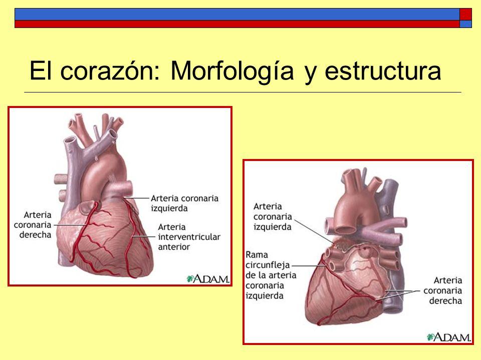 El corazón: Morfología y estructura