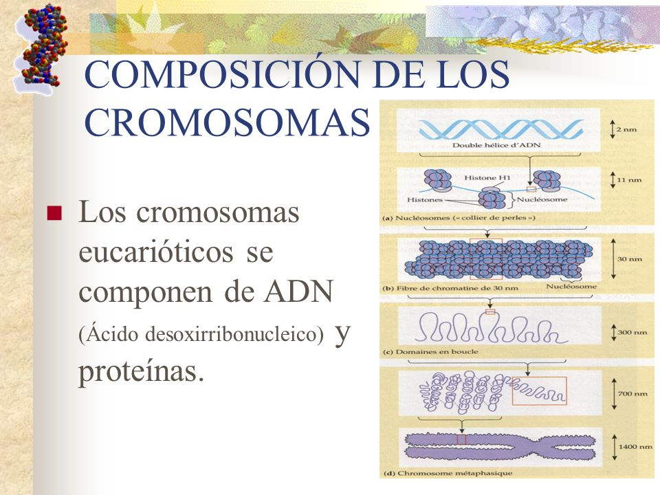 COMPOSICIÓN DE LOS CROMOSOMAS