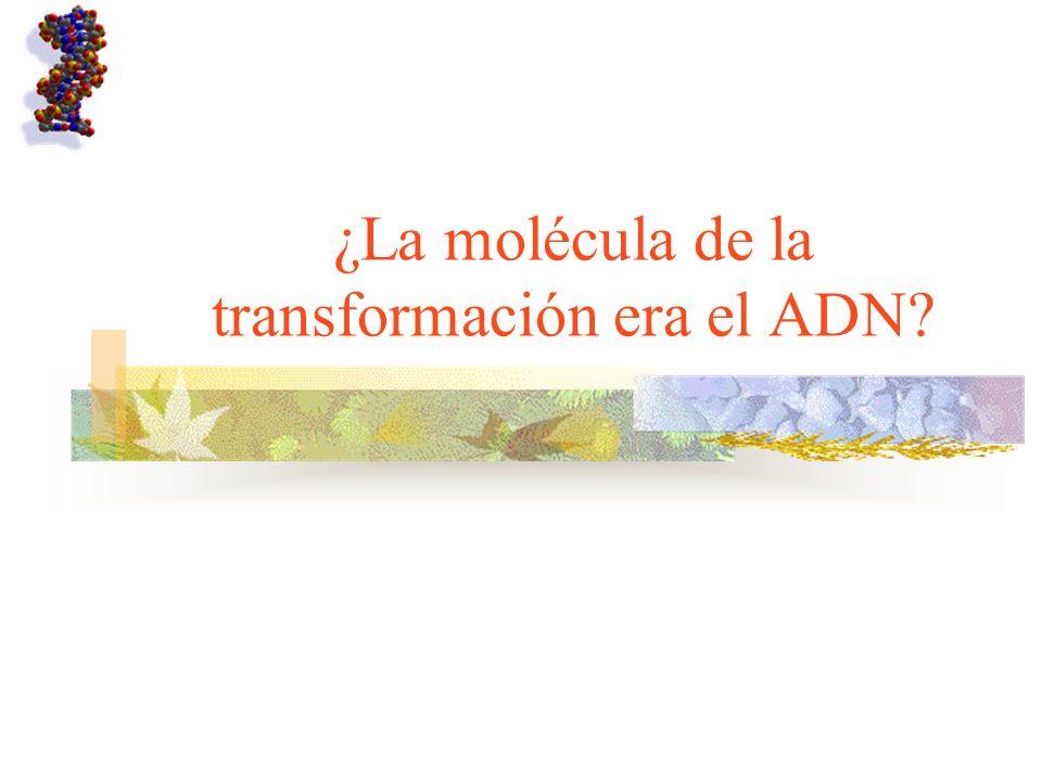 ¿La molécula de la transformación era el ADN