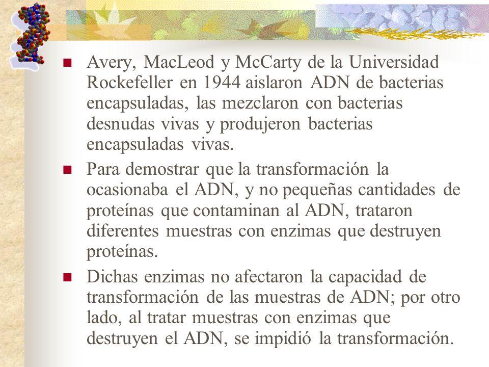 Avery, MacLeod y McCarty de la Universidad Rockefeller en 1944 aislaron ADN de bacterias encapsuladas, las mezclaron con bacterias desnudas vivas y produjeron bacterias encapsuladas vivas.