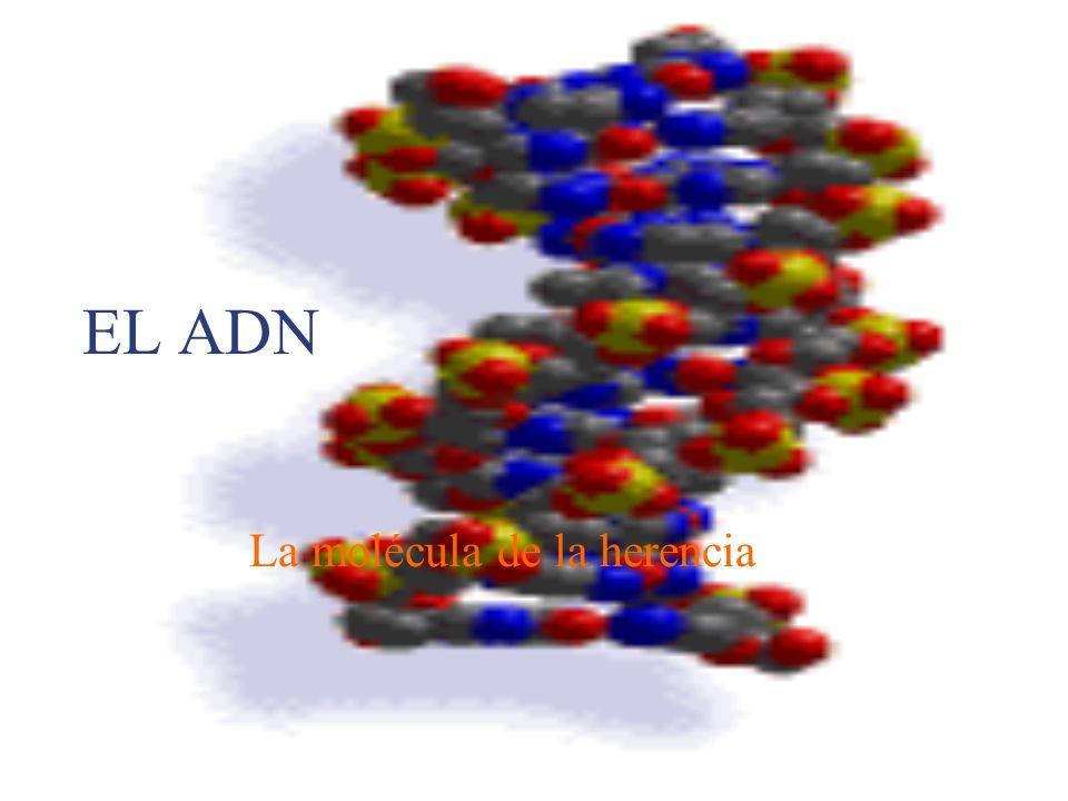 La molécula de la herencia