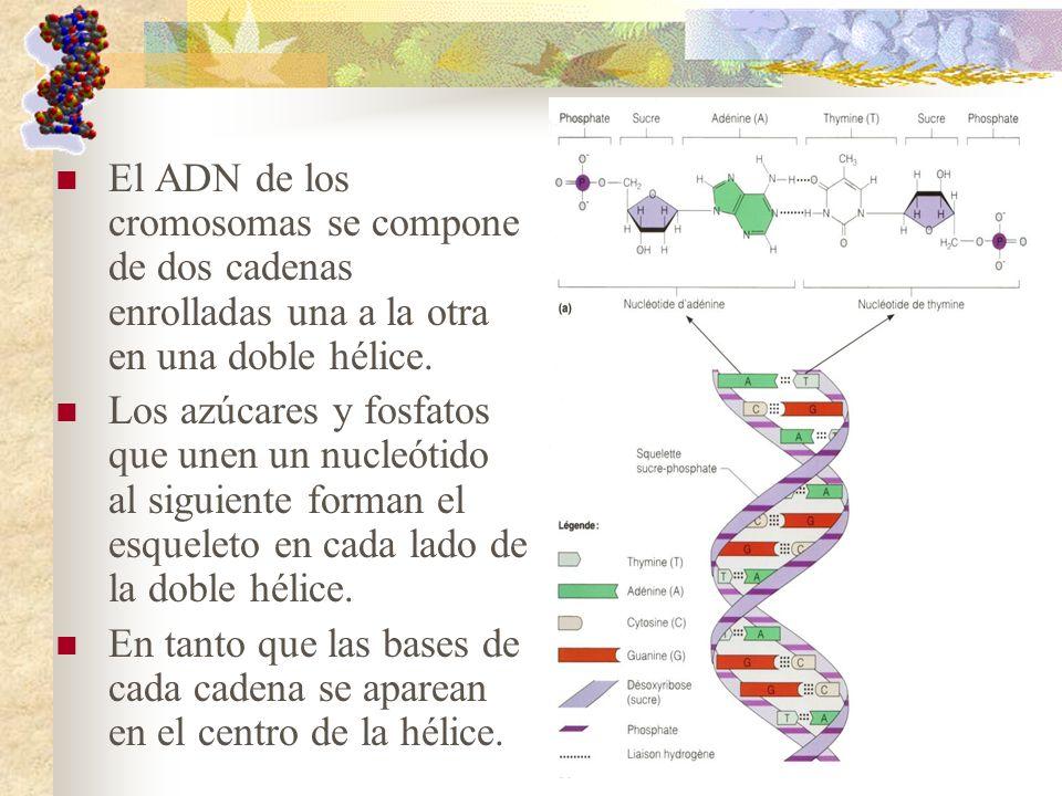 El ADN de los cromosomas se compone de dos cadenas enrolladas una a la otra en una doble hélice.