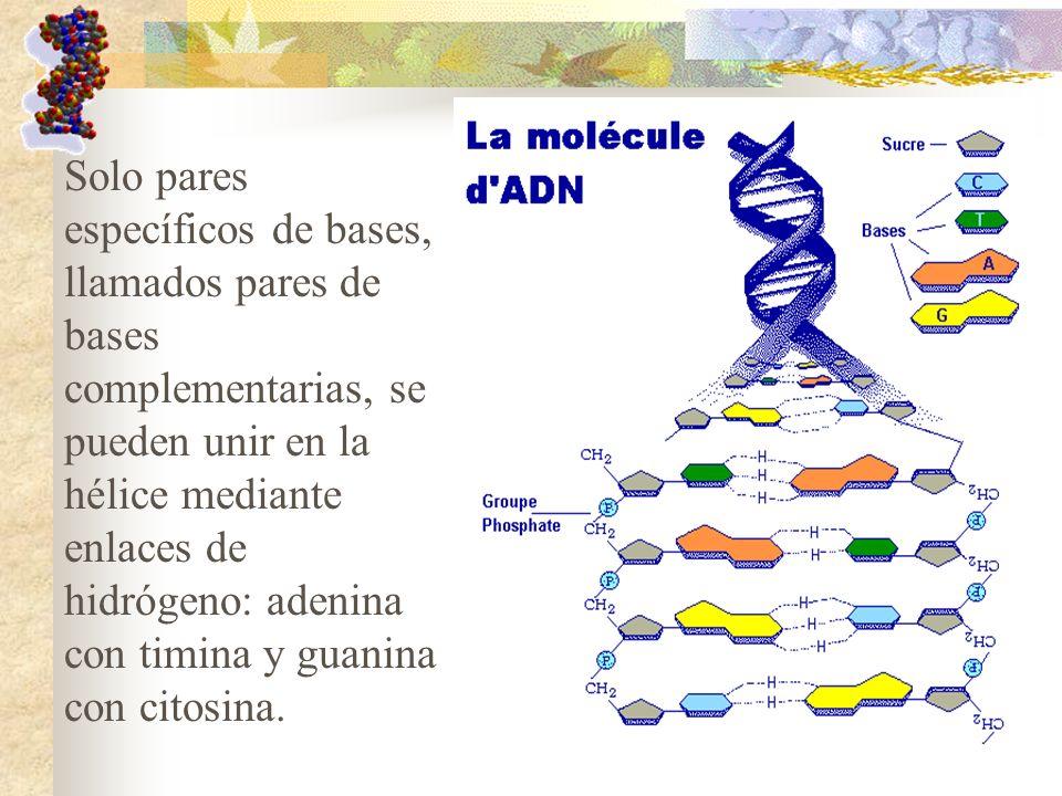 Solo pares específicos de bases, llamados pares de bases complementarias, se pueden unir en la hélice mediante enlaces de hidrógeno: adenina con timina y guanina con citosina.