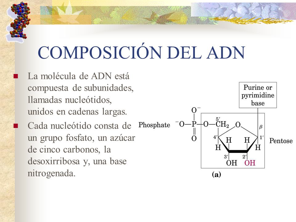COMPOSICIÓN DEL ADN La molécula de ADN está compuesta de subunidades, llamadas nucleótidos, unidos en cadenas largas.