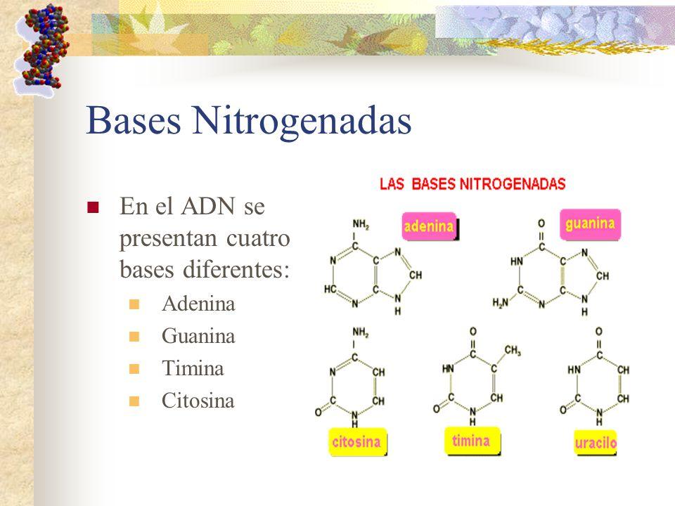 Bases Nitrogenadas En el ADN se presentan cuatro bases diferentes: