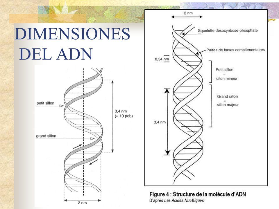 DIMENSIONES DEL ADN