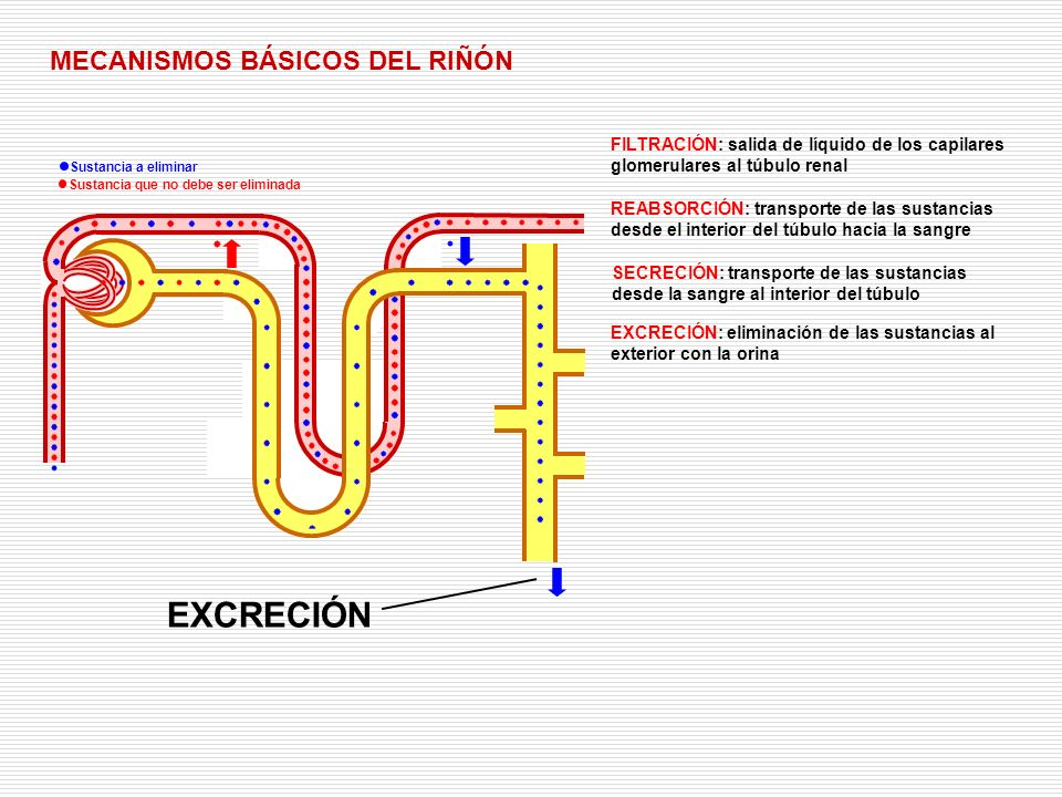 EXCRECIÓN MECANISMOS BÁSICOS DEL RIÑÓN