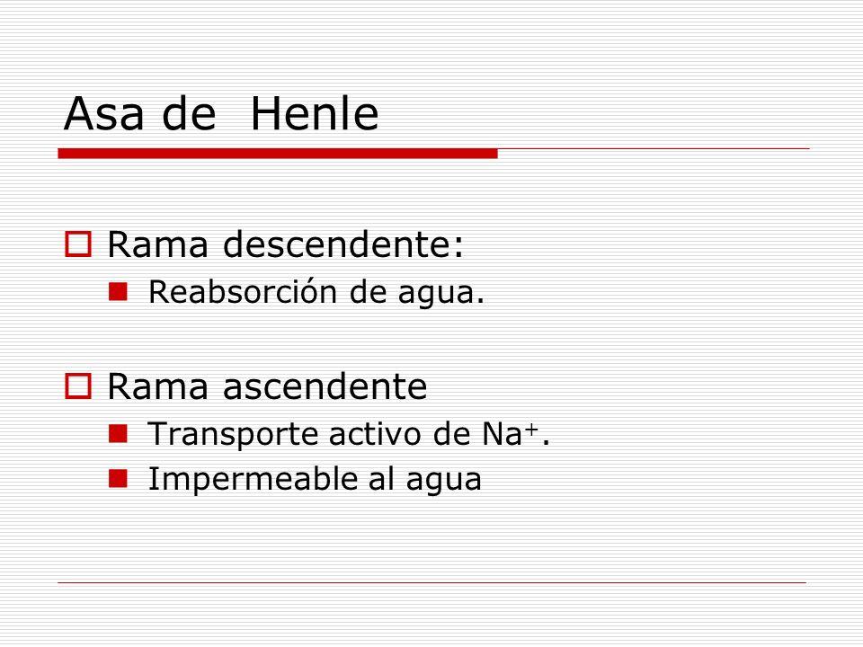 Asa de Henle Rama descendente: Rama ascendente Reabsorción de agua.
