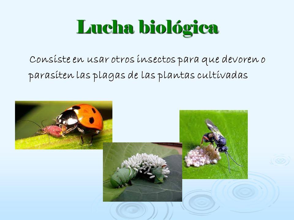 Lucha biológica Consiste en usar otros insectos para que devoren o parasiten las plagas de las plantas cultivadas.