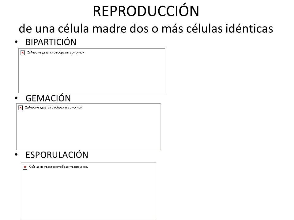 REPRODUCCIÓN de una célula madre dos o más células idénticas