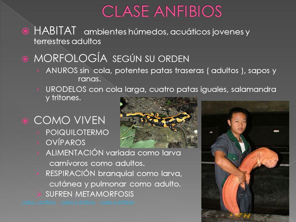 CLASE ANFIBIOS HABITAT ambientes húmedos, acuáticos jovenes y terrestres adultos. MORFOLOGÍA SEGÚN SU ORDEN.