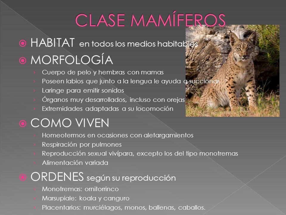 CLASE MAMÍFEROS HABITAT en todos los medios habitables MORFOLOGÍA