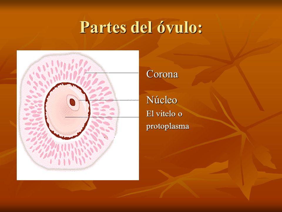 Partes del óvulo: Corona Núcleo El vitelo o protoplasma