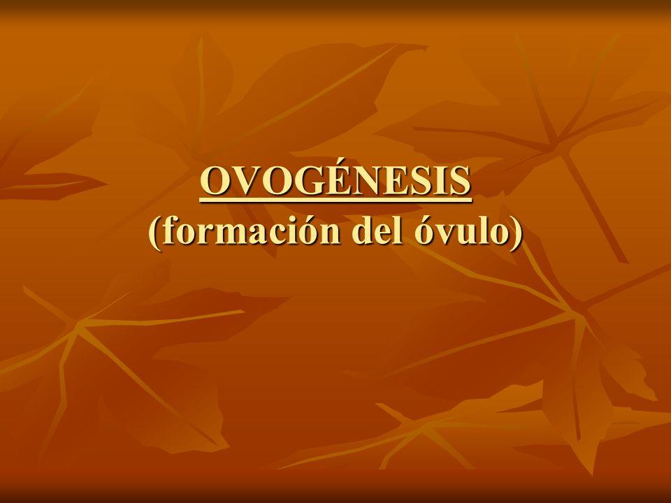 OVOGÉNESIS (formación del óvulo)