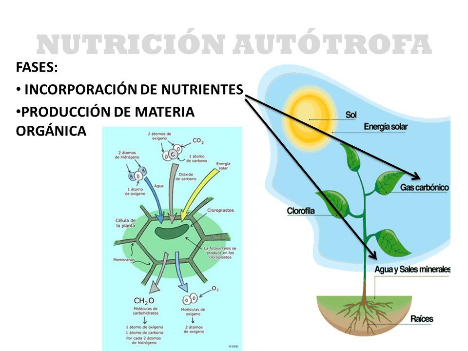 NUTRICIÓN AUTÓTROFA FASES: INCORPORACIÓN DE NUTRIENTES