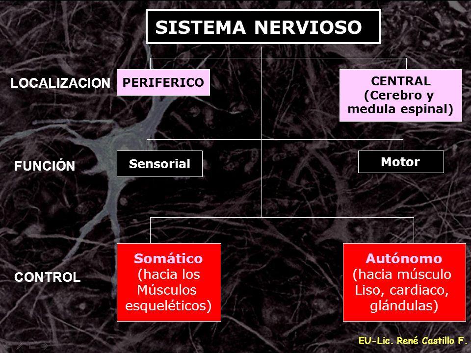 SISTEMA NERVIOSO Somático (hacia los Músculos esqueléticos) Autónomo