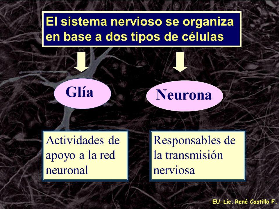 Glía Neurona El sistema nervioso se organiza