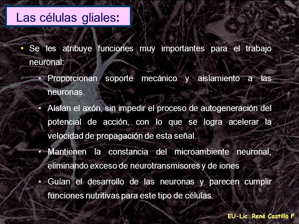 Las células gliales:Se les atribuye funciones muy importantes para el trabajo neuronal: Proporcionan soporte mecánico y aislamiento a las neuronas.