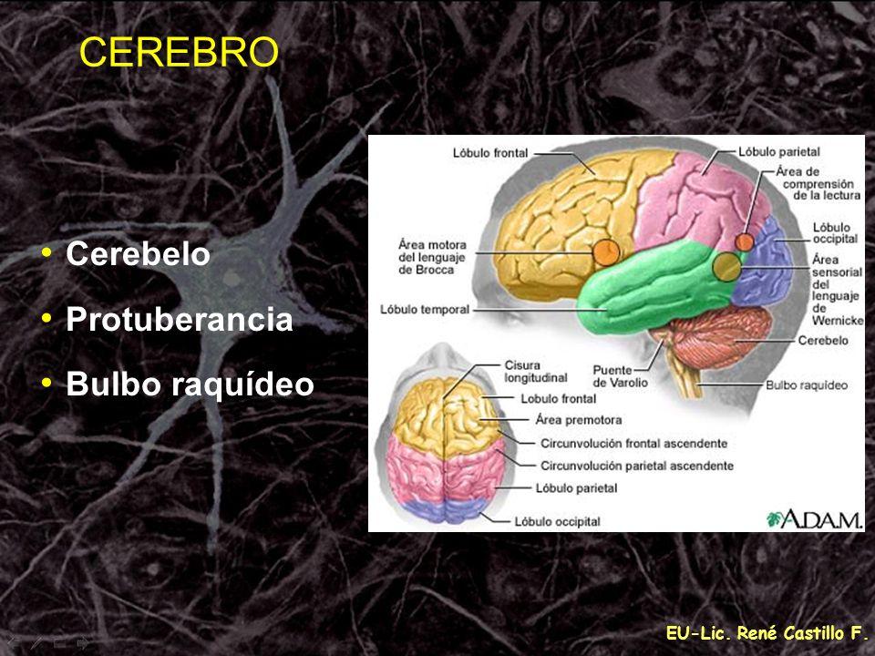 CEREBRO Cerebelo Protuberancia Bulbo raquídeo EU-Lic. René Castillo F.