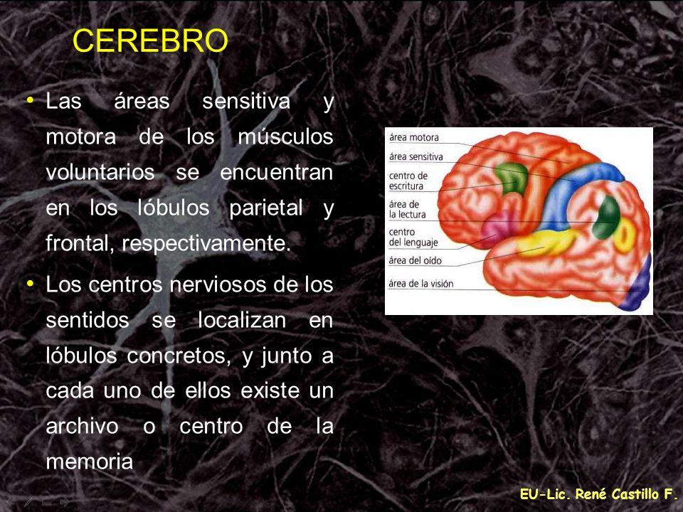 CEREBROLas áreas sensitiva y motora de los músculos voluntarios se encuentran en los lóbulos parietal y frontal, respectivamente.
