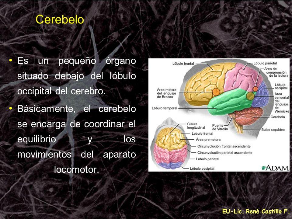 Cerebelo Es un pequeño órgano situado debajo del lóbulo occipital del cerebro.