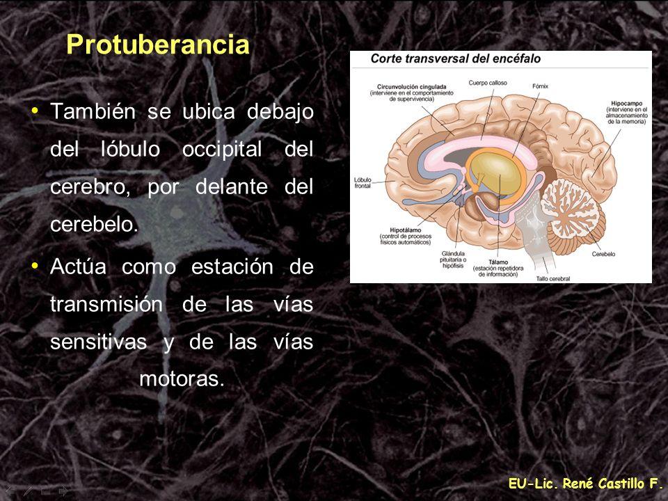 Protuberancia También se ubica debajo del lóbulo occipital del cerebro, por delante del cerebelo.