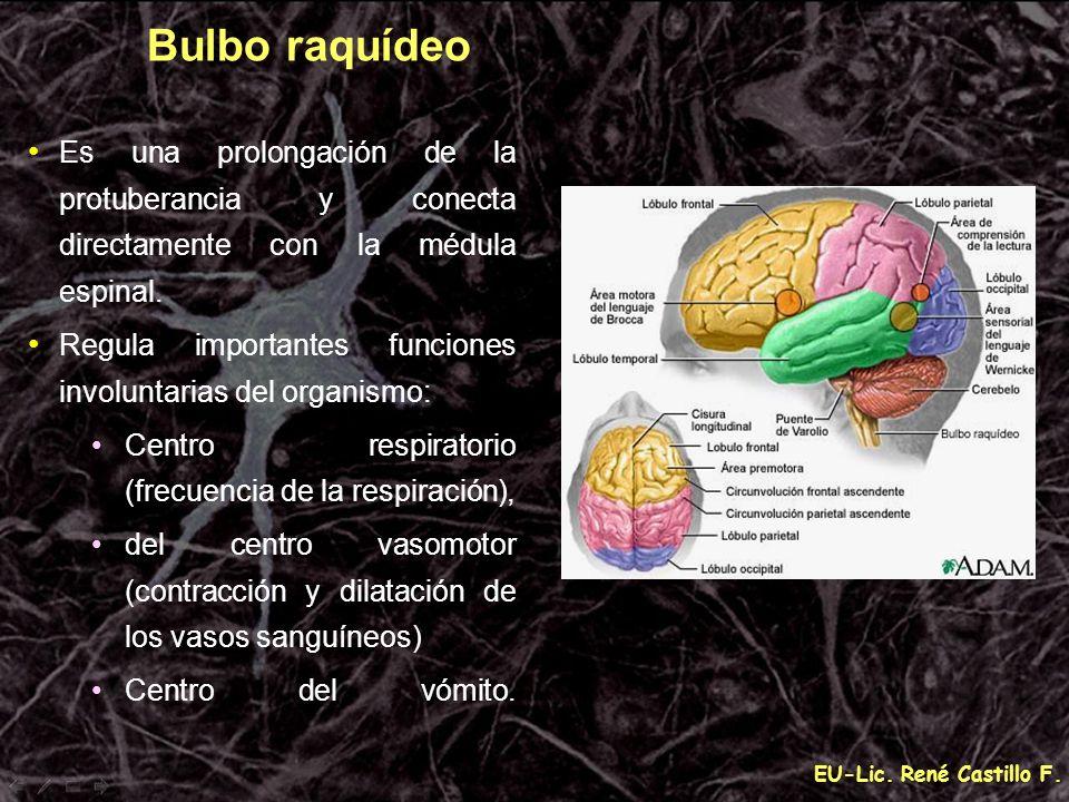 Bulbo raquídeo Es una prolongación de la protuberancia y conecta directamente con la médula espinal.