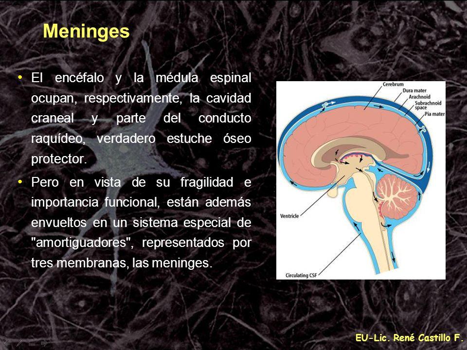 MeningesEl encéfalo y la médula espinal ocupan, respectivamente, la cavidad craneal y parte del conducto raquídeo, verdadero estuche óseo protector.