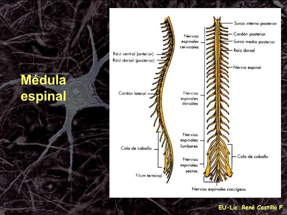Médula espinal EU-Lic. René Castillo F.