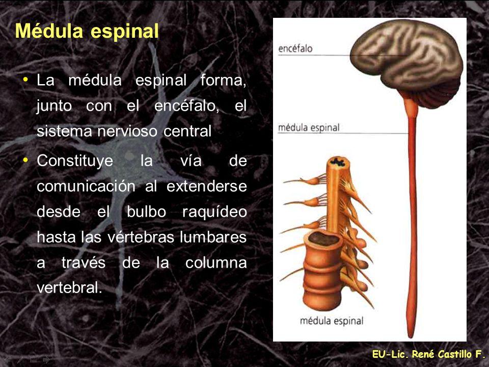 Médula espinal La médula espinal forma, junto con el encéfalo, el sistema nervioso central.