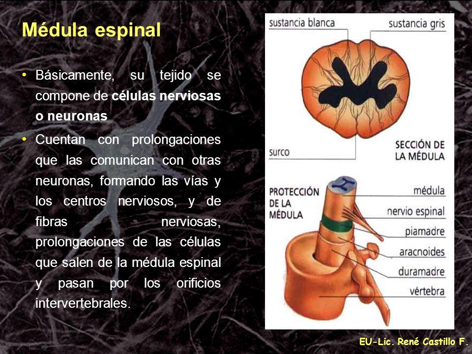 Médula espinal Básicamente, su tejido se compone de células nerviosas o neuronas.