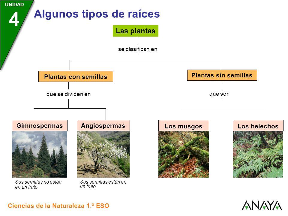 Las plantas Plantas con semillas Plantas sin semillas Gimnospermas