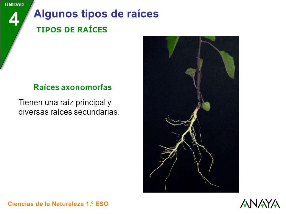 Tienen una raíz principal y diversas raíces secundarias.