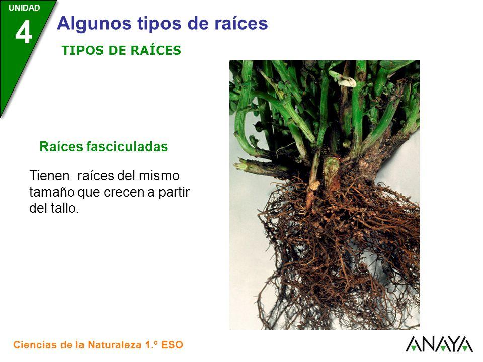 Tienen raíces del mismo tamaño que crecen a partir del tallo.
