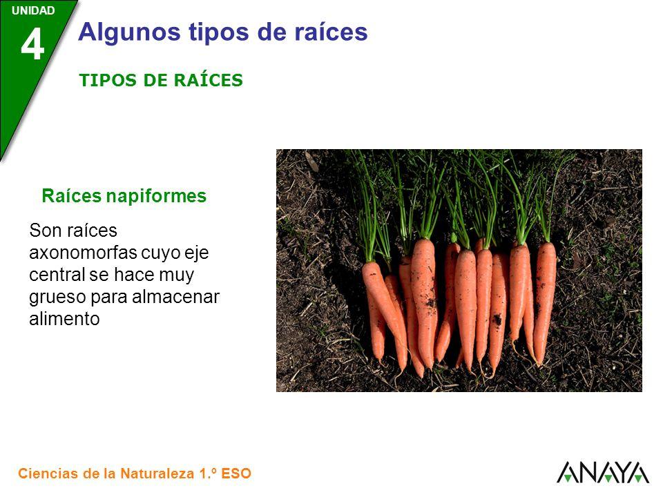 TIPOS DE RAÍCESRaíces napiformes.