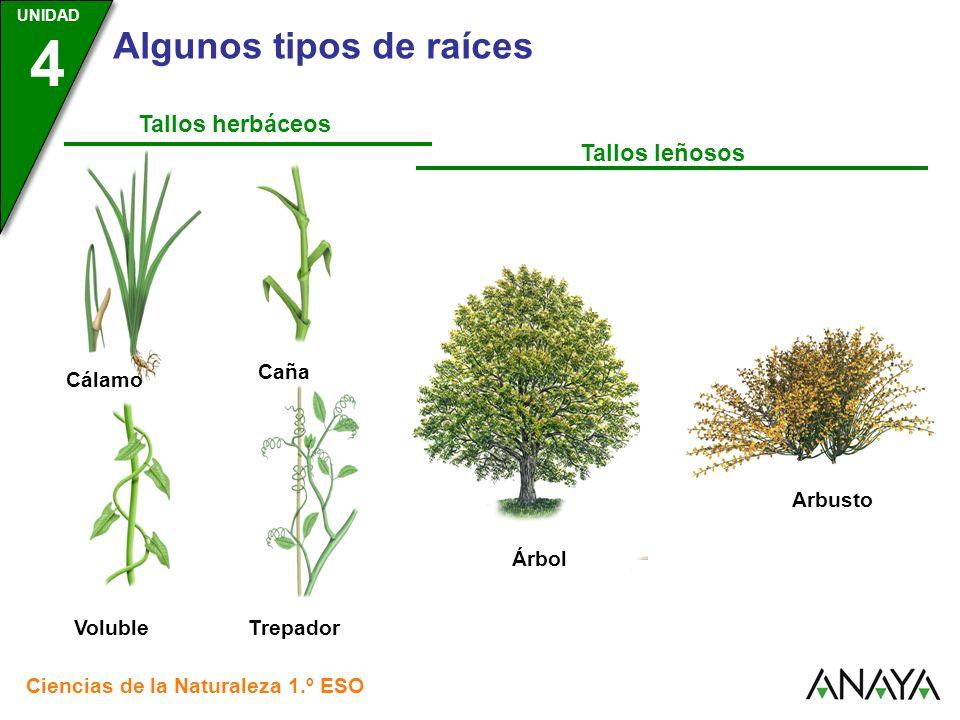 Tallos herbáceos Tallos leñosos Caña Cálamo Arbusto Árbol Voluble