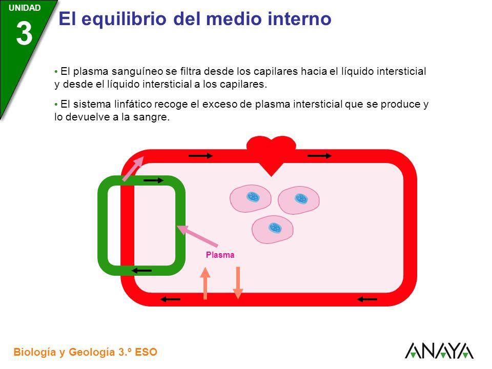 • El plasma sanguíneo se filtra desde los capilares hacia el líquido intersticial y desde el líquido intersticial a los capilares.