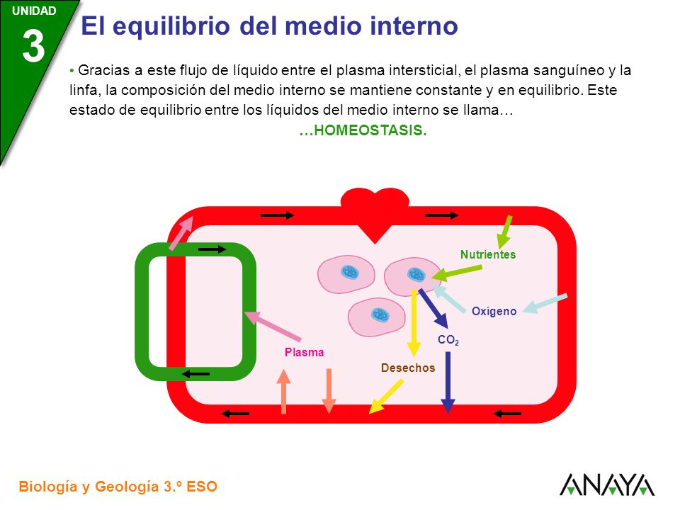 • Gracias a este flujo de líquido entre el plasma intersticial, el plasma sanguíneo y la linfa, la composición del medio interno se mantiene constante y en equilibrio. Este estado de equilibrio entre los líquidos del medio interno se llama…