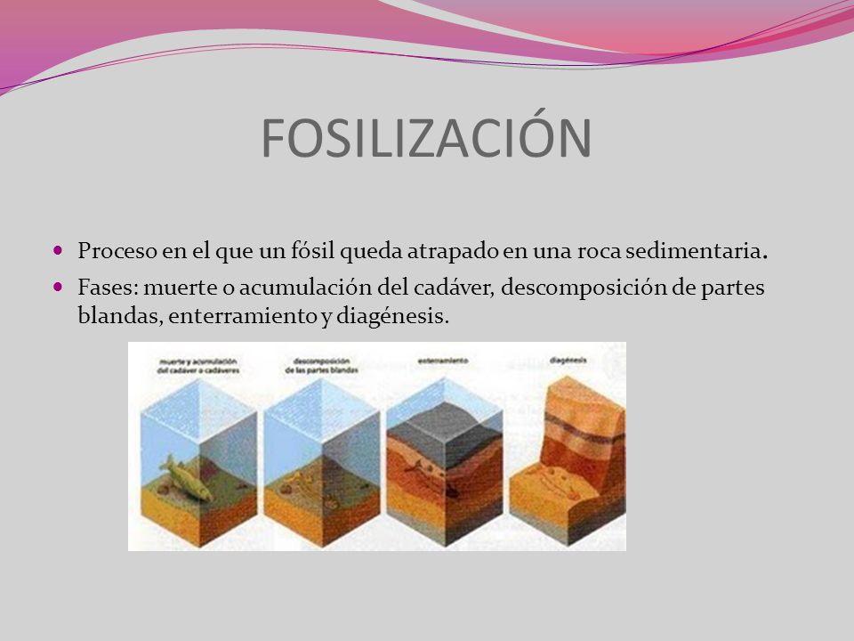 FOSILIZACIÓN Proceso en el que un fósil queda atrapado en una roca sedimentaria.