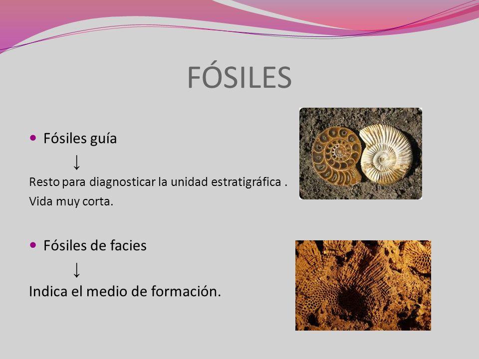 FÓSILES Fósiles guía ↓ Fósiles de facies Indica el medio de formación.