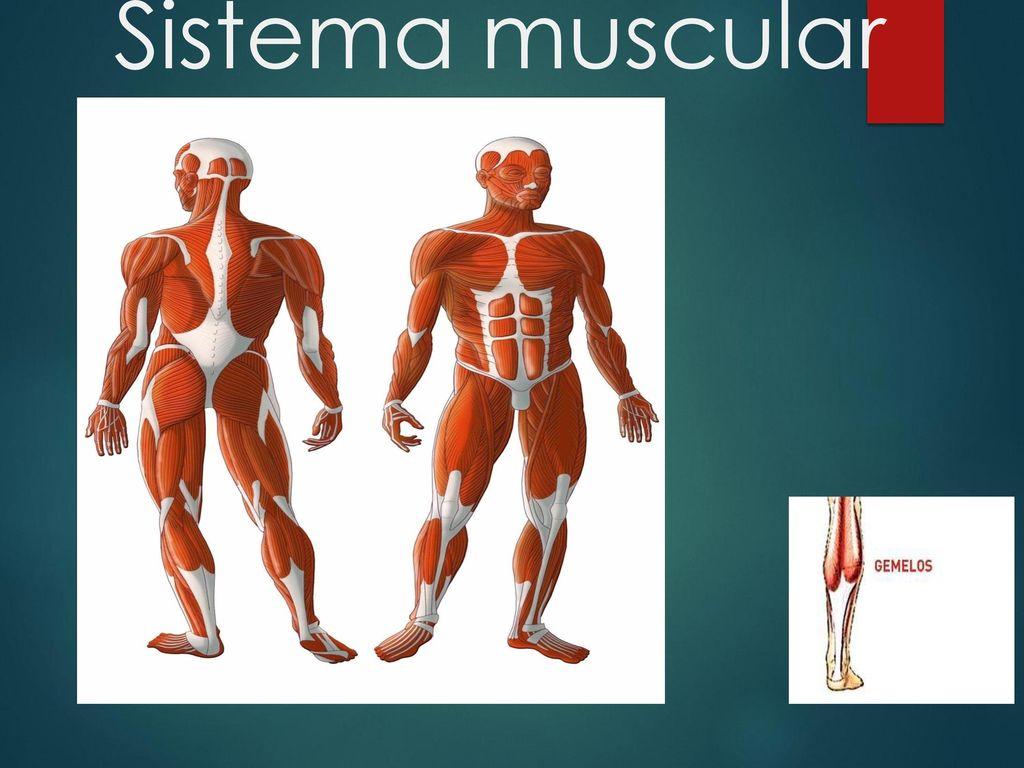 Bonito El Diagrama De Sistema Muscular Imagen - Imágenes de Anatomía ...