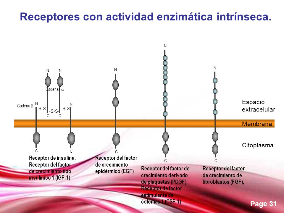 Receptores con actividad enzimática intrínseca.