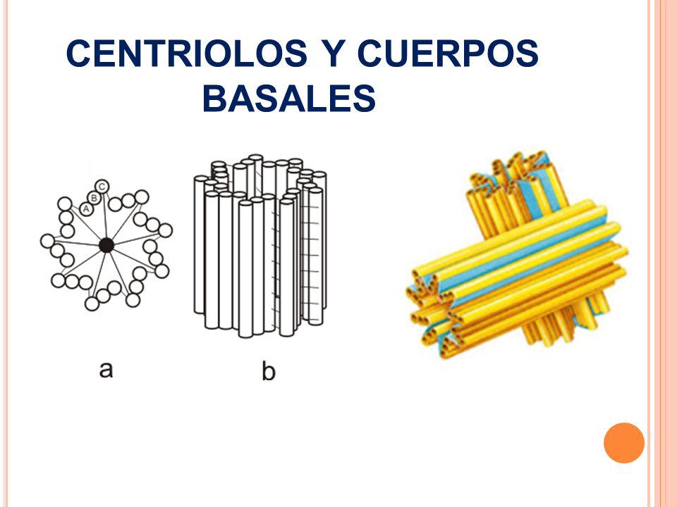 CENTRIOLOS Y CUERPOS BASALES
