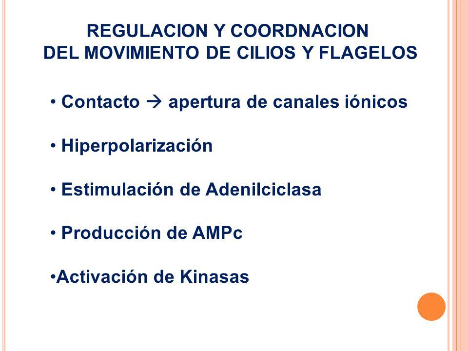 REGULACION Y COORDNACION DEL MOVIMIENTO DE CILIOS Y FLAGELOS