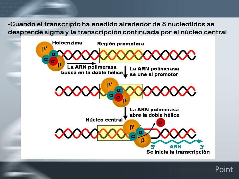 Cuando el transcripto ha añadido alrededor de 8 nucleótidos se