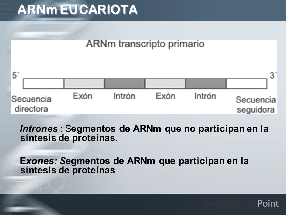 ARNm EUCARIOTAIntrones : Segmentos de ARNm que no participan en la síntesis de proteínas.
