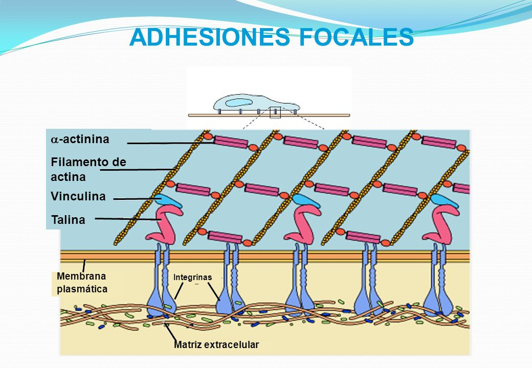 ADHESIONES FOCALES a-actinina Filamento de actina Vinculina Talina