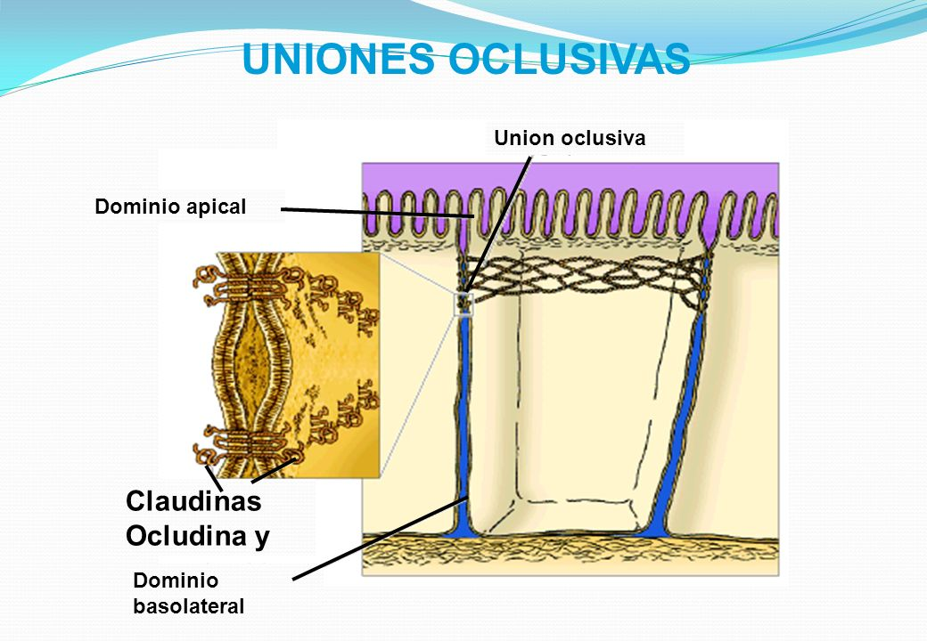 UNIONES OCLUSIVAS Claudinas Ocludina y Union oclusiva Dominio apical